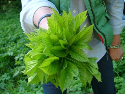 GIersch (Aegopodium podagriaria)